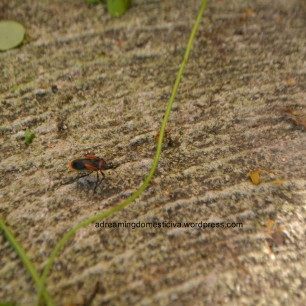 An unidentified black bug with a red tint